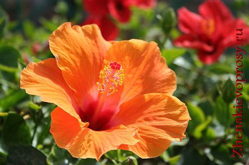 цветок безбрачия