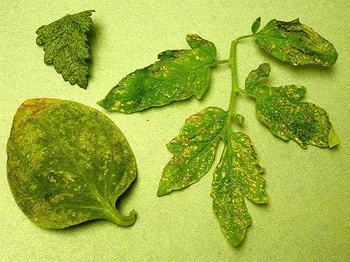 трипсы на комнатных растениях
