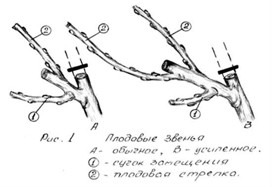 kak-obrezat-vinograd-3
