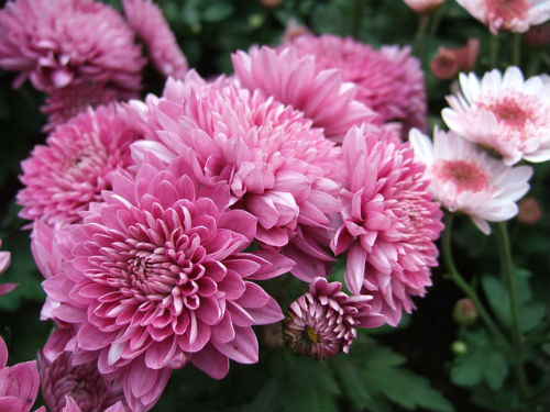 chrysanthemum-721850_640