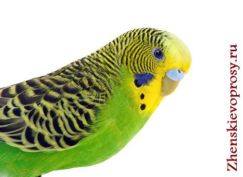 Как ухаживать за волнистым попугаем?