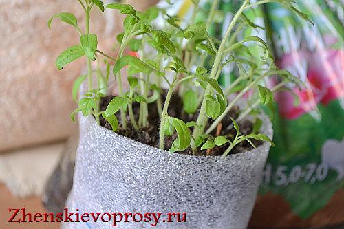 kak-pikirovat-rassadu-pomidor-2
