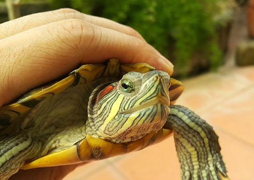 фото красноухих черепах