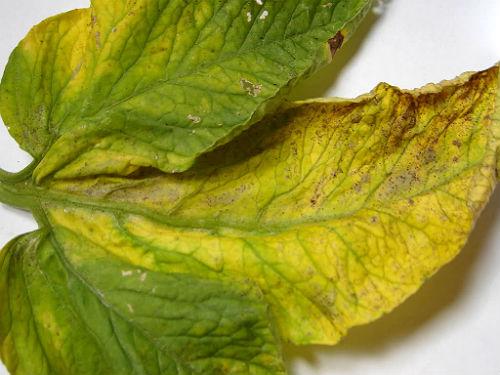 симптомы поражения растения трипсами