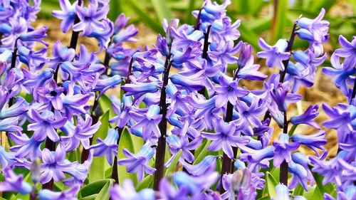 hyacinth-272492_640