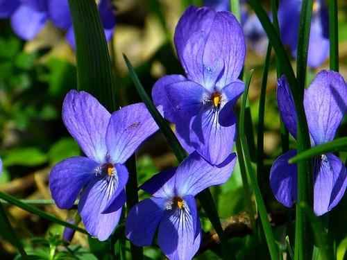 violet-292367_640